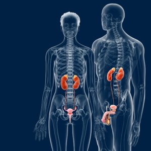 Posizione: I reni si trovano a sinistra e a destra della colonna vertebrale all'undicesima e dodicesima costola.